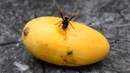 Vespa bicolor, Paper wasp. HD