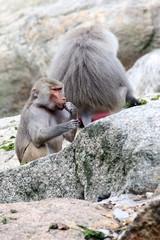 Baby baboon eating food