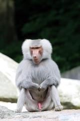 Male baboon sitting on a rock