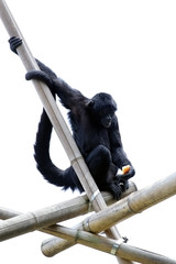 Chimpanzee holding an apple