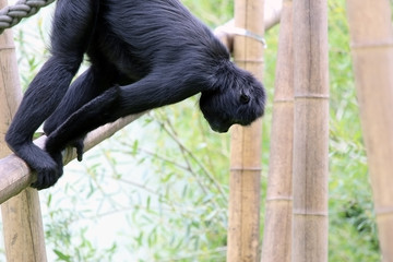 Chimpanzee swinging around