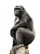 Gorilla auf Ausguck, Freisteller