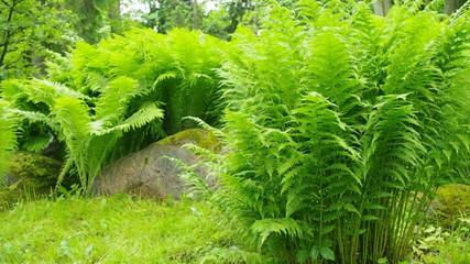 Beautiful green ferns.