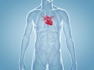 Herz, Kardiologie: anatomische 3D-Illustration