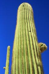 Cactus gigantesco