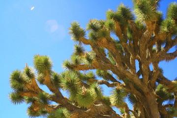 Rami intricati di un joshua tree