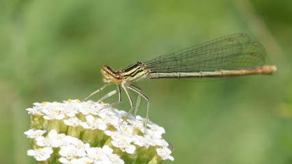 Damselfly in and out of the frame