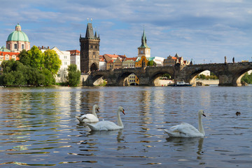 Swans with background of Charles bridge