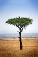 Arbre aux vautours
