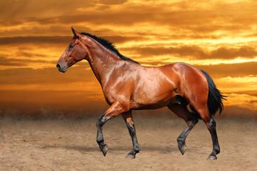 Bay horse trotting free on sky background