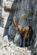 Alpine Ibex male looking back