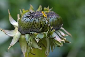 Dandelion - Double bud