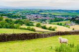 View of English grazing sheep in countryside