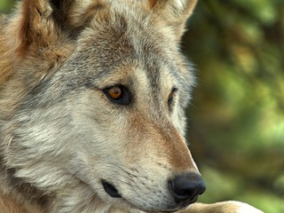 Lakota Wolf 11
