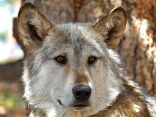 Lakota Wolf 13