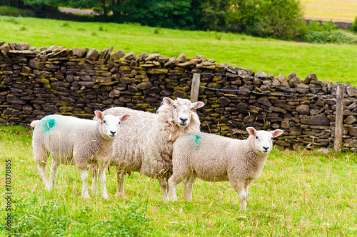 Canvas Schapen View of English grazing sheep in countryside
