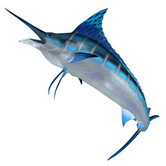 Blue Marlin Front Profile