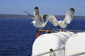 Yellow-legged gulls (Larus michahellis) on the ship.