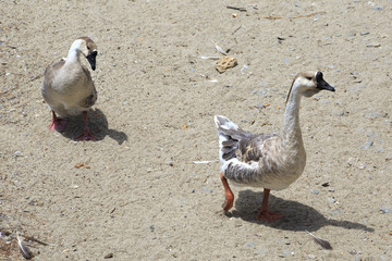 Gray geese walking along the seashore.