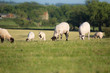 A group of sheep grazing in a field - 70378011
