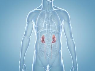 Nieren - anatomische 3D-Illustration innere Organe