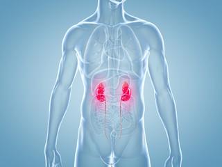 Nieren, Nierenerkrankungen - anatomische 3D-Illustration