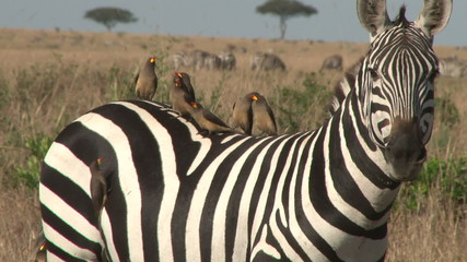 Tick birds resting on the back of a zebra