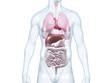 Leinwandbild Motiv Innere Organe: anatomische 3D-Illustration