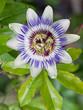 A common Passion Flower (Passiflora caerulea)