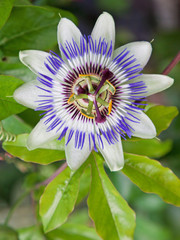 A common Passion Flower (Passiflora caerulea)