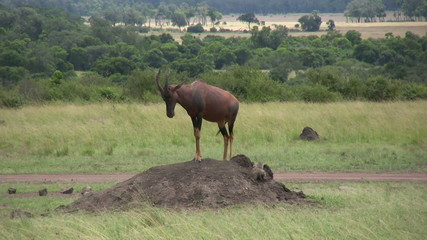 Topi and mongoose together on an anthill
