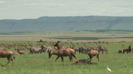 Topis, zebras, all resting together in the plains of mara