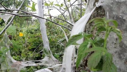 terrible awful moth kills trees, spins a web