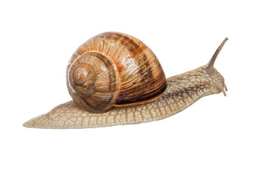 large brown snail on white