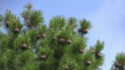 Cedar branches with cones swaying in the wind