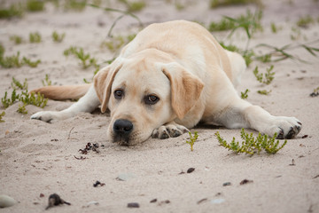 Cute lonely yellow labrador puppy