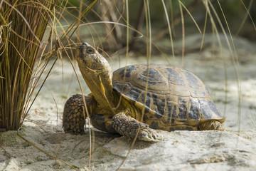 Testudo horsfieldii - Steppe tortoise