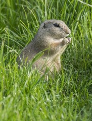 ground squirrel on a meadow