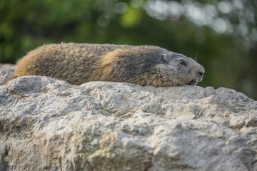 marmot resting on a stone