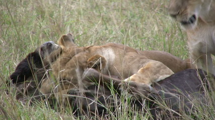 two lionesses killing a wildebeest by strangulation