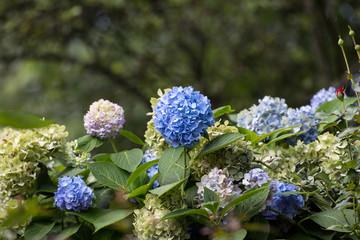 Many blue hydrangea flowers growing in the garden