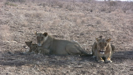 lionesses with two very young cubs