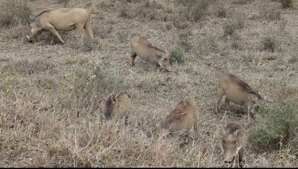 Warthog Family On The Move Gfhd