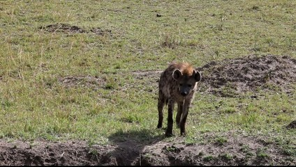 Spotted Hyena Walking Close-Up