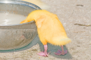 chick drinking in a bowl