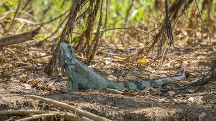 Iguana in riverbank of Brazilian Pantanal