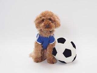 サッカーボールとユニフォームを着たトイプードル