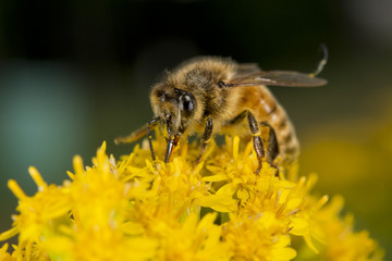 Bee while sucking pollen