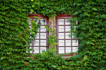 Wooden windows covered by ivy