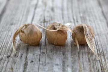 Bulbs of saffron crocus